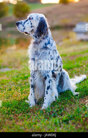 English Setter sitting on the grass - Stock Photo