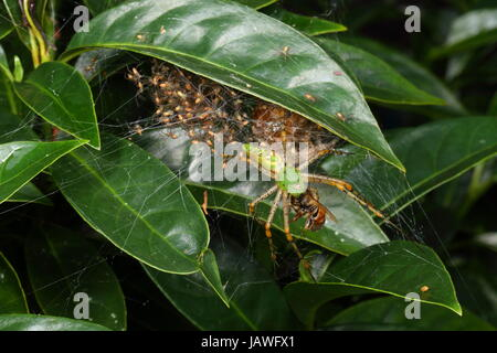 A green lynx spider with babies, Peucetia viridans, preying on a honey bee. - Stock Photo
