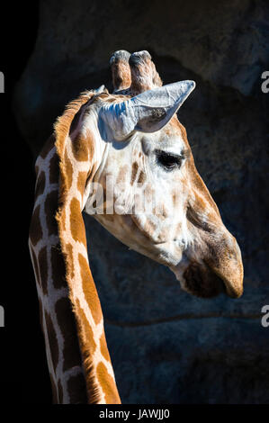 A Giraffe turning its head on its long neck to listen with its ears alert. - Stock Photo