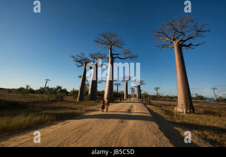 Late afternoon light on the Avenue of the Baobabs, Madagascar - Stock Photo