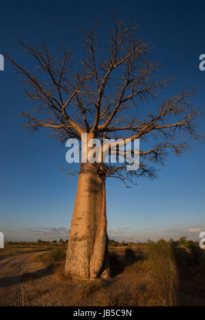 Two boys in a tree on the Avenue of the Baobabs, Madagascar - Stock Photo
