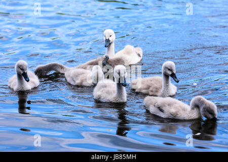 Seven 7 mute swan cygnets swimming in a lake - Stock Photo