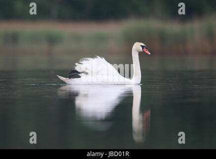 Mute swan (Cygnus olor) swimming on lake - Stock Photo