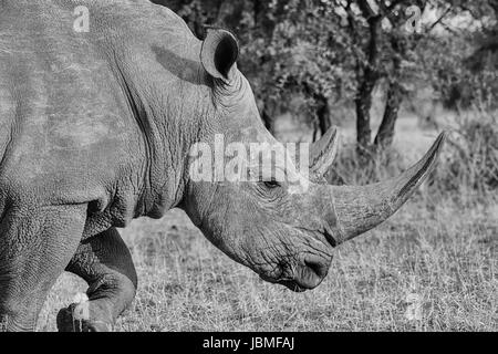 Adult White Rhino in Southern African savanna - Stock Photo