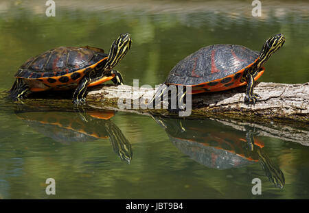 florida red-bellied cooter - [pseudemys nelsoni] - Stock Photo