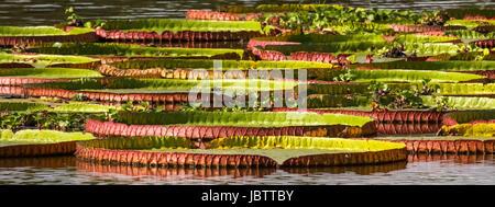 Victoria Amazonica, blossom, water lilies, Pantanal, Brazil - Stock Photo