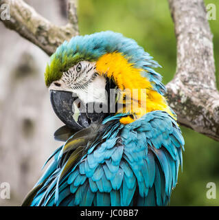 Blue and Yellow Macaw at Cotswold Wildlife Park in Burford, Oxfordshire, UK - Stock Photo