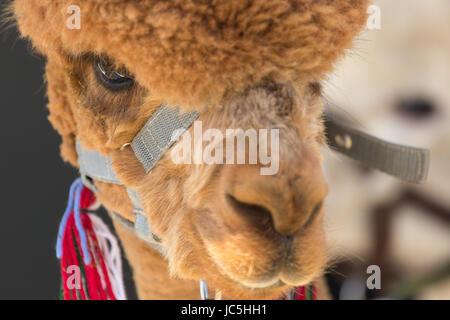 Close-up head shot of captive brown/ginger coloured Alpaca (Vicugna pacos) on display at Ham Fair. Ham Common, Richmond - Stock Photo