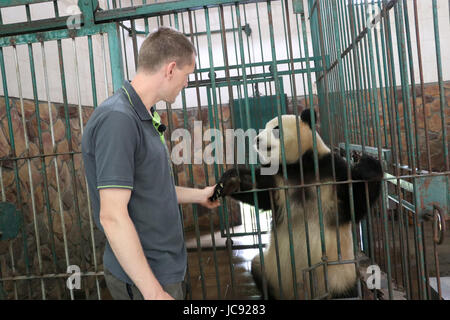 Zoo keeper from Berlin Christian Toll with female panda Moeng Moeng at the panda breeding station on Chengdu, China, - Stock Photo