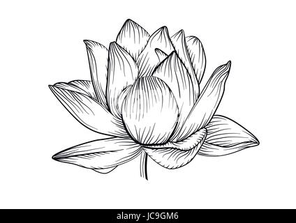 Lotus water lily vector beautiful flower line, black and white tattoo art illustration. Hand drawn fine linear plant - Stock Photo