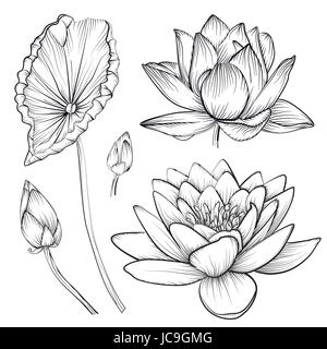 Lotus water lily vector beautiful flower buttons, leaf set line black and white tattoo art illustration. Hand drawn - Stock Photo