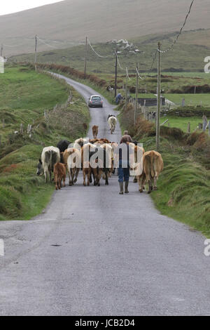 Herd of cows on a country road in County Kerry, Ireland. - Stock Photo