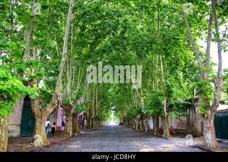 Avenue with sycamore trees in Colonia del Sacramento, Uruguay. It is one of the oldest towns in Uruguay - Stock Photo