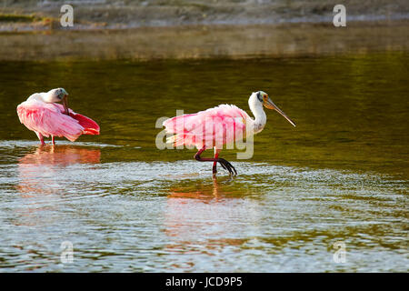 Roseate spoonbill (Platalea ajaja) bathing in water - Stock Photo