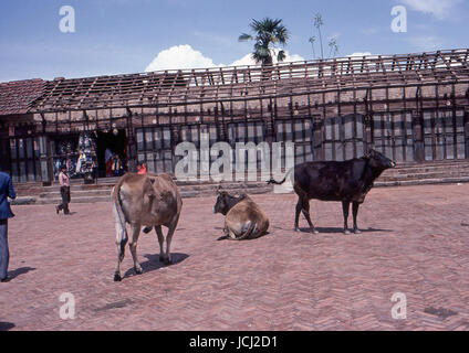 Reportage Nepal 1980. Pokhara, sacred cows - Stock Photo
