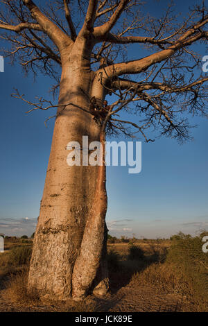 Two boys in a tree, Avenue of the Baobabs, Madagascar - Stock Photo