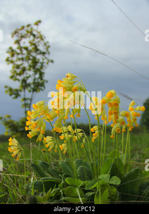 Primroses Primula Veris on a springy cloudy day on a hill with a lone birch - Stock Photo