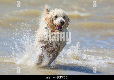 Labradoodle dog. White male labradoodle dog (Canis lupus familiaris) running on a beach after coming out of the - Stock Photo