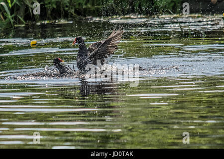 River Soar, Cossington Meadows, UK. 17th June, 2017. One of the hotest day this year for wildlife and visitors on - Stock Photo