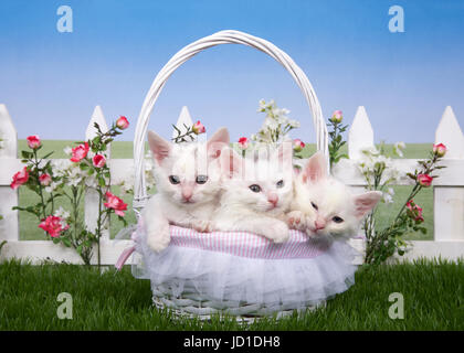 Three fluffy white kittens sitting in a white wicker basket looking directly at viewer. Basket on green grass, white - Stock Photo
