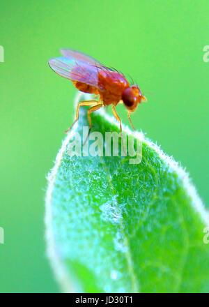 close-up, macro view of an insect - common fruit fly - on a green leaf a in a garden in Sri Lanka - Stock Photo