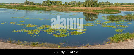 Panorama of a large number of white lilies on the Dnieper Bay near Kiev.This photo was taken in a park, near Kiev. - Stock Photo