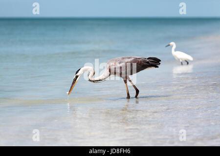 Great blue heron, Ardea herodias, catching a fish, Sanibel Island, Florida, USA - Stock Photo