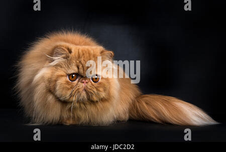 Red Persian cat in hunting pose isolated on black background - Stock Photo