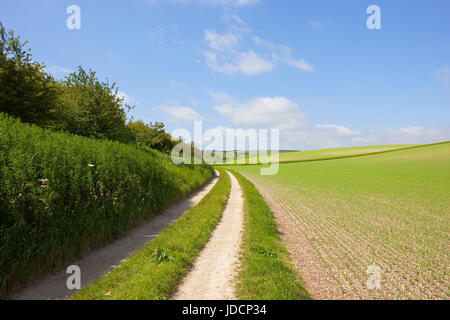 a scenic farm track beside a hillside pea crop on chalky soil in the yorkshire wolds under a blue sky in summer - Stock Photo