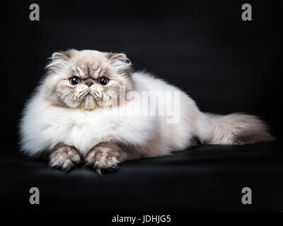 Tabby point Persian cat laying isolated on black background - Stock Photo