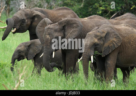 South Africa, Africa, African elephants, innkeepers NP, Loxodonta africana,, Suedafrika, Afrika, Afrikanische Elefanten, - Stock Photo