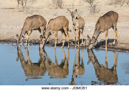 Female greater kudu, Tragelaphus strepsiceros, drinking at waterhole. - Stock Photo