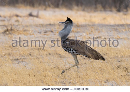 A male Kori bustard, Ardeotis kori, in courtship display. - Stock Photo
