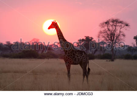 A giraffe, Giraffa camelopardalis, at sunset. - Stock Photo