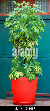Schefflera flower plant. Evergreen plant. Stock photo - Stock Photo