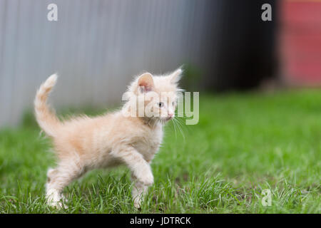 Red kitten playing in green grass - Stock Photo