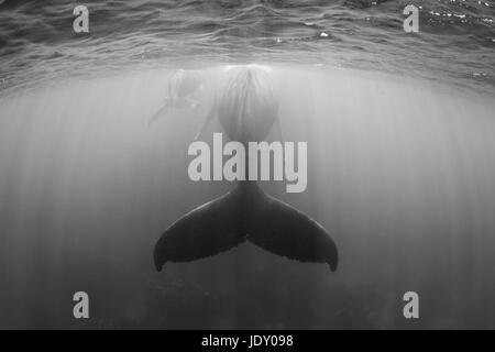 Humpback Whale, Mother and Calf, Megaptera novaeangliae, Silver Bank, Atlantic Ocean, Dominican Republic - Stock Photo