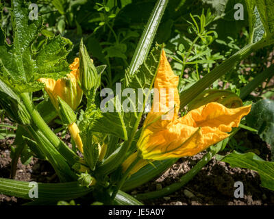 Flower of a Hokkaido Pumpkin (Cucurbita maxima) in the herb garden at the Convent Inzigkofen on Upper Danube Valley, - Stock Photo
