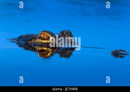 A large alligator at sunrise with a dragonfly perched on it's head. The American Alligator is an apex predator and - Stock Photo
