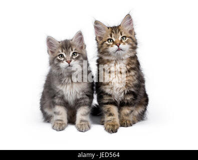 Two y Siberian Forest cat / kittens sitting isolated on white background facing camera - Stock Photo