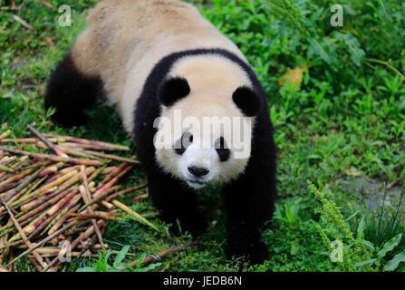 Chengdu. 24th June, 2017. Photo taken on May 3, 2017 shows giant panda 'Meng Meng' at the Chengdu Research Base - Stock Photo