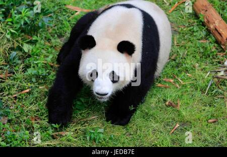 Chengdu. 24th June, 2017. Photo taken on May 3, 2017 shows giant panda 'Jiao Qing' at the Chengdu Research Base - Stock Photo
