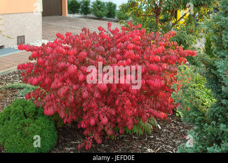 Cork wing spindle shrub, Euonymus alatus Compactus , Korkfluegel-Spindelstrauch (Euonymus alatus 'Compactus') - Stock Photo