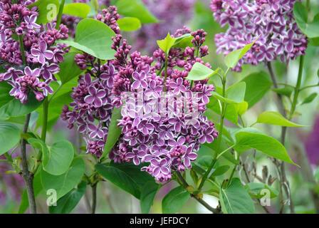 Noble lilac, Syringa vulgaris sensation , Edel-Flieder (Syringa vulgaris 'Sensation') - Stock Photo