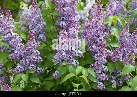 Lilac, Syringa vulgaris , Flieder (Syringa vulgaris) - Stock Photo