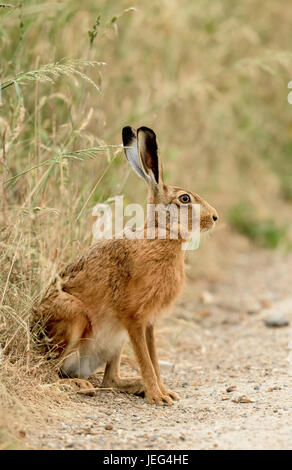 Brown hare(Lepus europaeus) at the edge of a grassland field in Norfolk. - Stock Photo