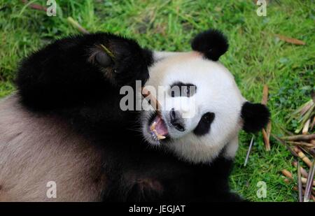 Beijing, China. 25th June, 2017. Photo taken on May 3, 2017 shows giant panda 'Jiao Qing' at the Chengdu Research - Stock Photo