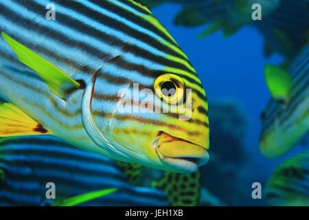 Oriental sweetlips fish (Plectorhinchus orientalis) underwater in the tropical indian ocean - Stock Photo