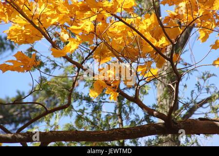 Fall leaves against blue sky in Centennial Park Orillia. - Stock Photo