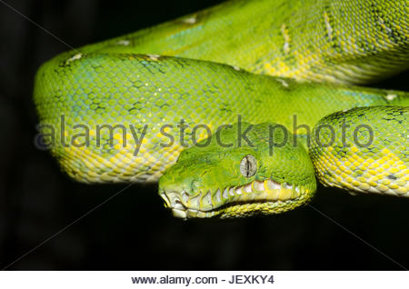 Close up of an emerald tree boa, Corallus caninus at night, in controlled conditions. - Stock Photo